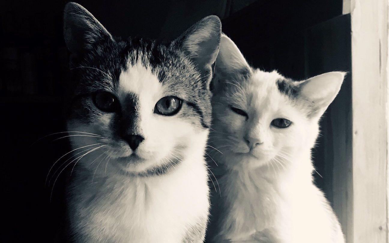 Zwei junge Kater sitzen elegant nebeneinander und blicken in die Kamera.
