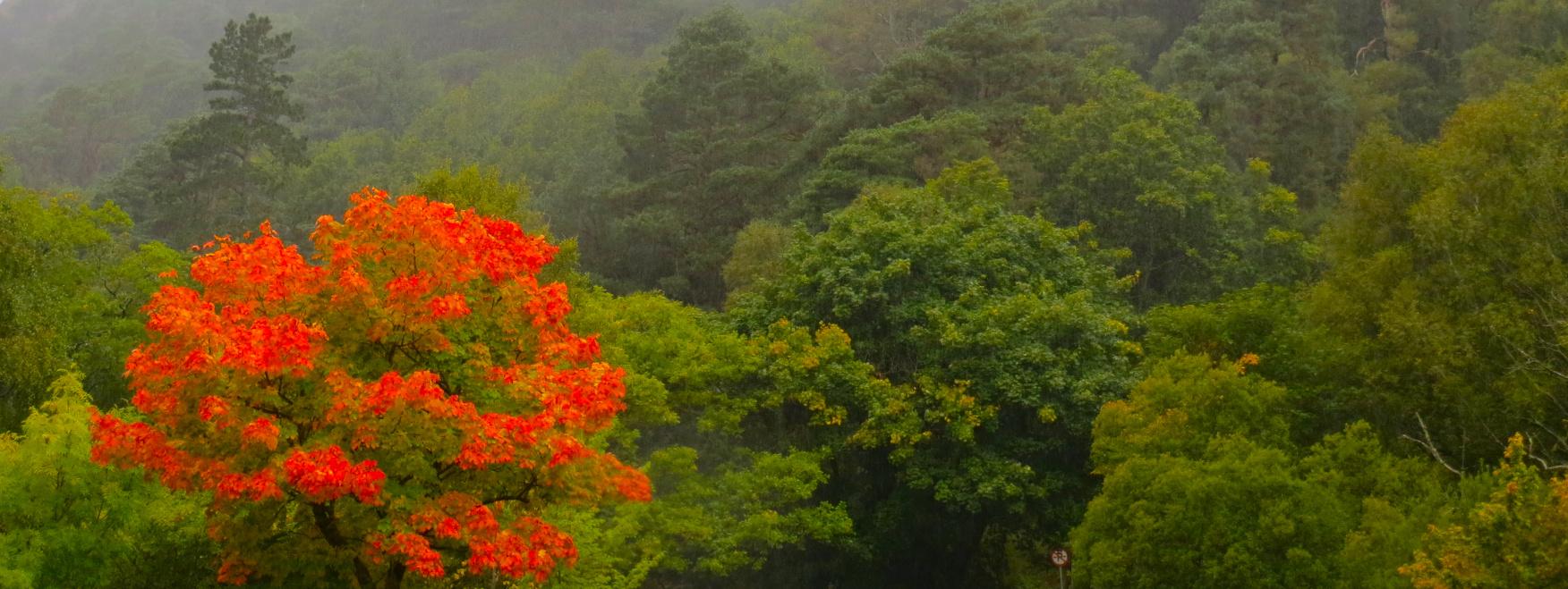 Nebliger, bewaldeter Hügel in Irland. Ein Baum mit roten Blättern steht im Vordergrund.