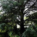 Ein ausladender, dunkelgrüner Nadelbaum vor dem wolkigen Himmel.